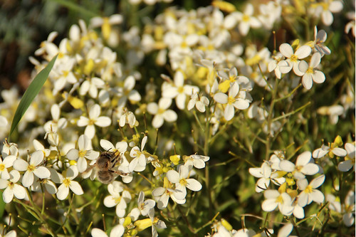 Avril 2012 - abeille dans les corbeilles d'argent