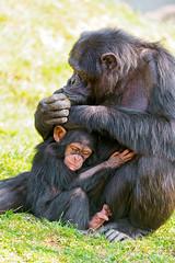 [フリー画像素材] 動物 1, 猿・サル, チンパンジー, 動物 - 親子 ID:201205071000