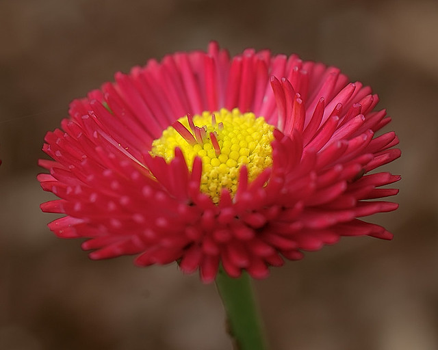 Missouri Botanical Garden (Shaw's Garden), in Saint Louis, Missouri, USA - macro photo of red flower with yellow center