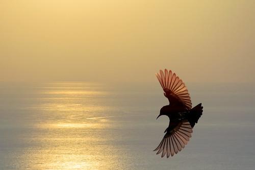 #850E5780 - Golden wings of Purple Sunbird