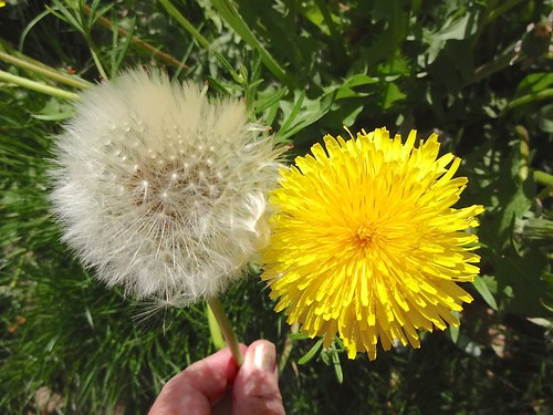 Different phases of life of a dandelion