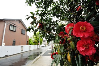 Camellia in rainy day.