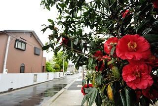 Camellia in rainy day.