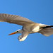 egret fly-by (1) by bertknot