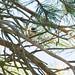 Common Firecrest (Regulus ignicapilla) Brandkronad kungsfågel