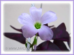 Lavender flower of Oxalis triangularis (Purple Shamrock) - Sept 2010
