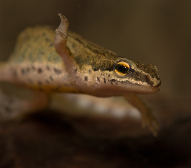 palmate newt from ed pond 2 100mm close up 4 edited