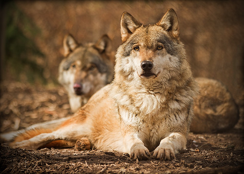 Eurasian Wolf (Canis lupus), Zoopark Chomutov, Czech Republic by Michal Petro