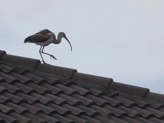 White Ibis on roof 20120316