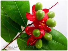 Ochna kirki (Mickey Mouse Plant, Bird's Eye Bush): immature drupelets on fleshy red receptacle