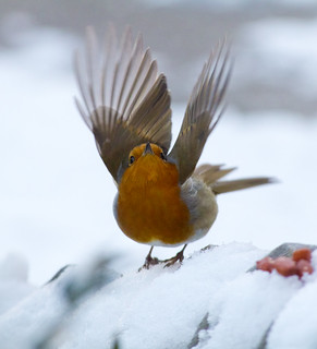Robin fly away