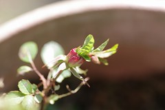 バラの貫性花?