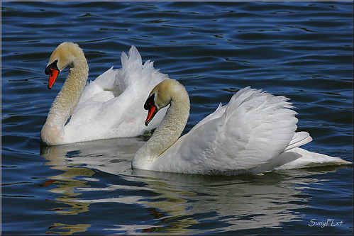 lake florida pair bluewater swans elegant graceful lakeland valentinesday enchanted muteswans lakemorton naturesfinest happyvalentinsday