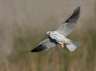 White-tailed Kite Nesting