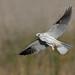 White-tailed Kite Nesting by Yamil Saenz