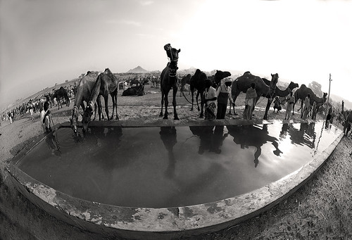 7066a Water for the camels--Rajasthan , India