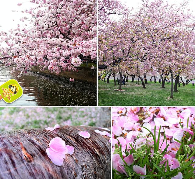DC cherry blossom 3