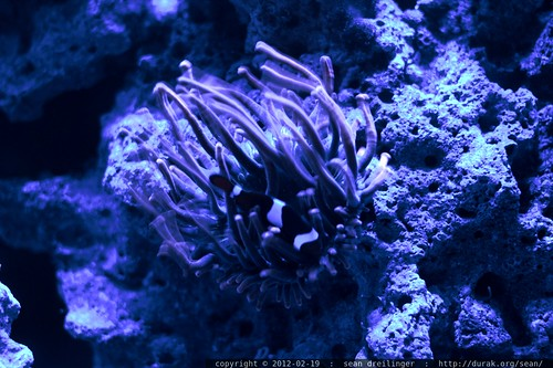 anemone and clownfish in rachel's marine aquarium    MG 8847