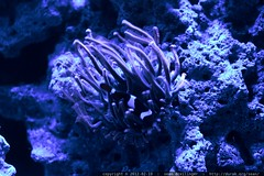 anemone and clownfish in rachel's marine aquarium   …