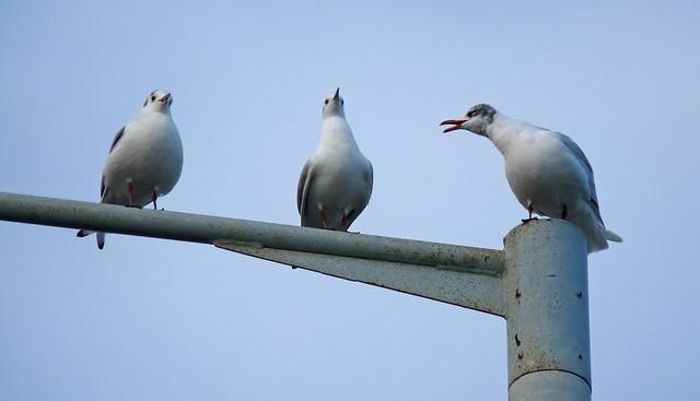 25558 - Mediterranean Gull, Bracelet Bay