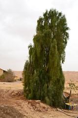 全靠中水灌溉長成的參天大樹