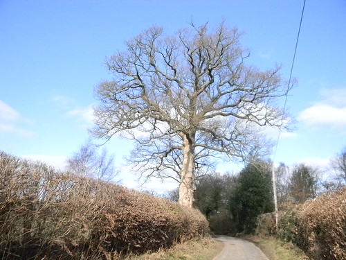 Big tree in hedgerow