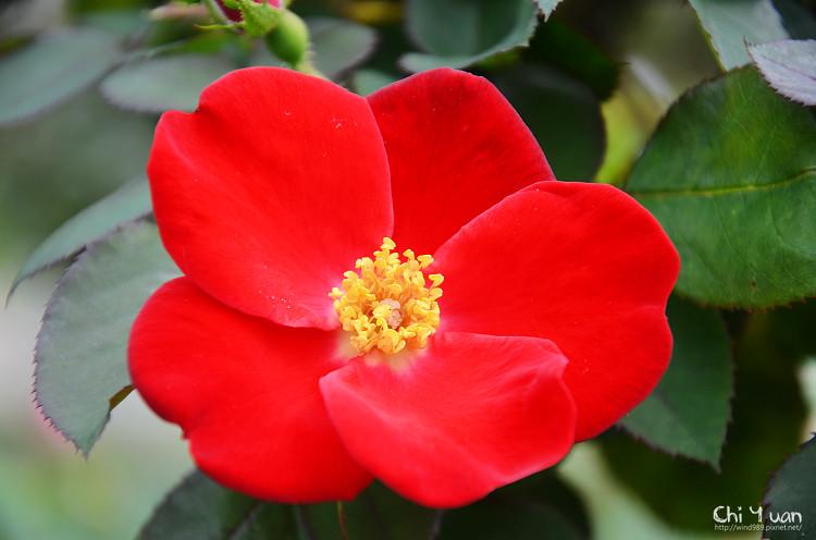 2012士林官邸玫瑰季29.jpg