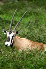 gazelle(0.0), animal(1.0), antelope(1.0), grass(1.0), gemsbok(1.0), mammal(1.0), horn(1.0), fauna(1.0), meadow(1.0), oryx(1.0), wildlife(1.0),