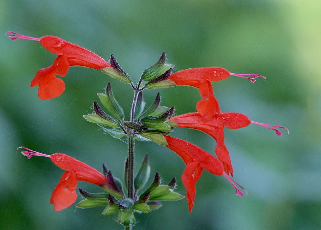 Tropical Sage (Salvia coccinea)