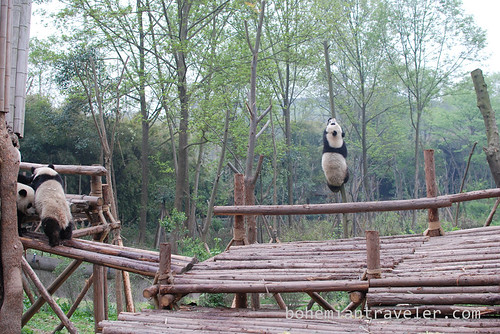Pandas in Chengdu China 14