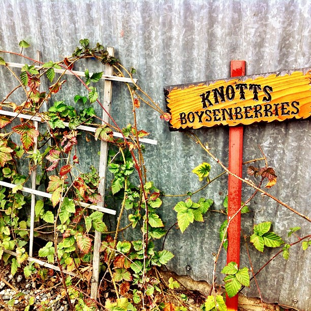The only boysenberries still on the @Knotts farm. #knottsphotos