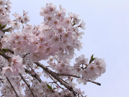 しだれ桜2012@氷室神社-07
