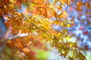 Maple Bokeh by norsez