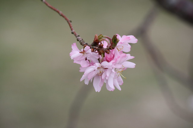 unknown pink tree blossom