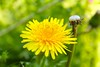 Two Dandelions by ivva