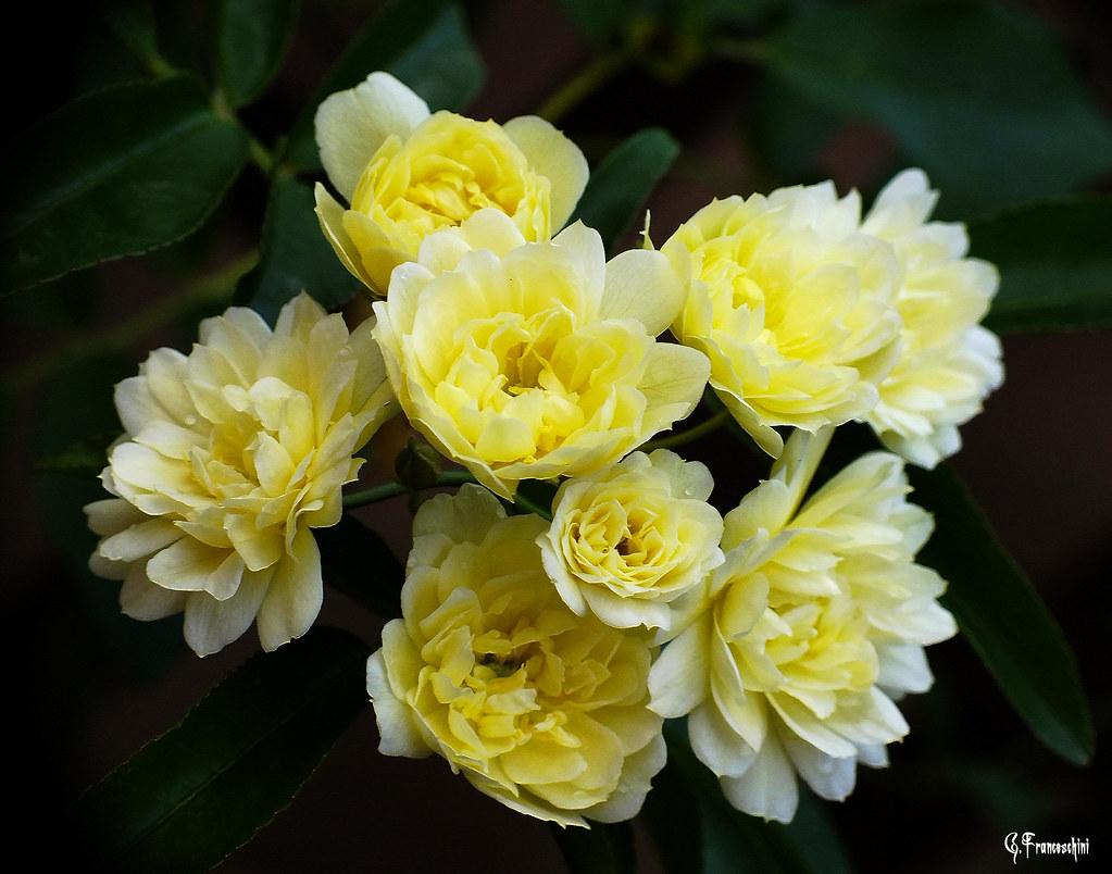 Rose Rampicanti Senza Spine rosa banksiae (dscf1394) | rosa banksiae ( rampicanti senza