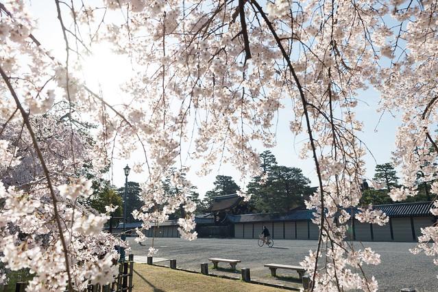 京都御苑 九条邸跡の糸桜