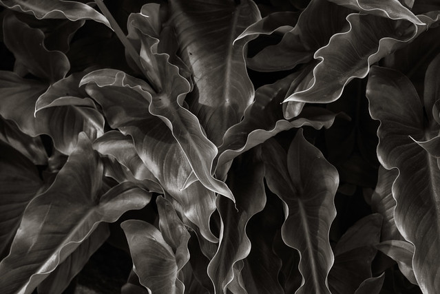 Cala lily leaves