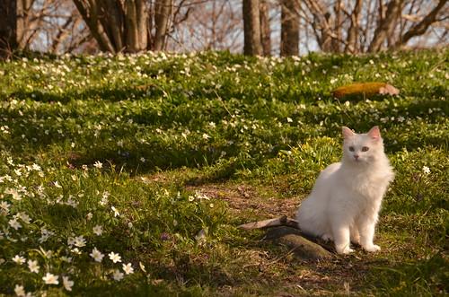 green cat katt kissa åland woodanemones vitsippor sooc ramsholmen valkovuokkoja