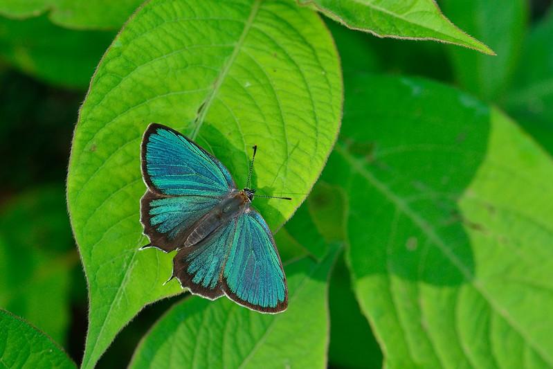 ミドリシジミ / Neozephyrus japonicus / The Green Hairstreak