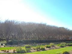 row of trees at the dallas arboretum