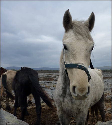 Pony in the Burren, Co. Clare