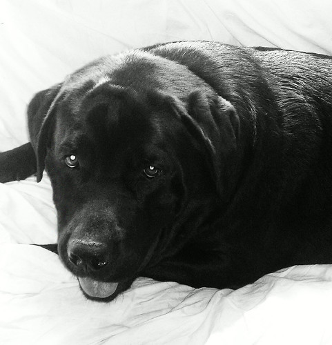 black labrador retriever - Chester