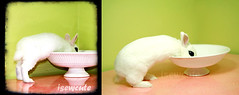 yuki from baby bunny to all grown up with bowl 5 month difference photos by isewcute by isewcute