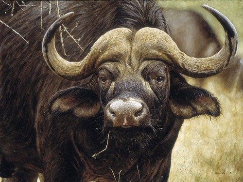 "'Cape Buffalo Bull' oil on board 12¼"" x 16¼"