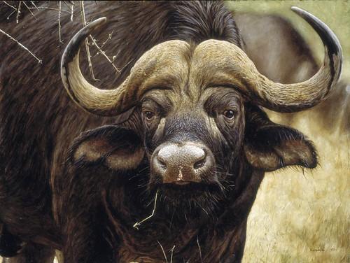 "'Cape Buffalo Bull' oil on board 12¼"" x 16¼"