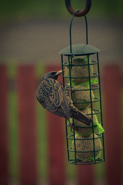 100312_ Hello Mr Starling #8