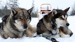 gray wolf(0.0), jã¤mthund(0.0), dog breed(1.0), animal(1.0), west siberian laika(1.0), dog(1.0), czechoslovakian wolfdog(1.0), winter(1.0), vehicle(1.0), snow(1.0), pet(1.0), shikoku(1.0), mammal(1.0), east siberian laika(1.0), norwegian elkhound(1.0), tamaskan dog(1.0), greenland dog(1.0), northern inuit dog(1.0), wolfdog(1.0), saarloos wolfdog(1.0), sled dog racing(1.0), alaskan malamute(1.0),