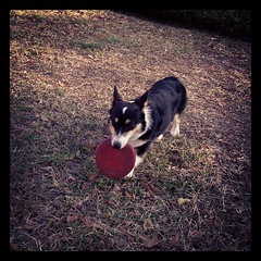 Mar 15, 2012 - frisbee with Nappy! #corgi