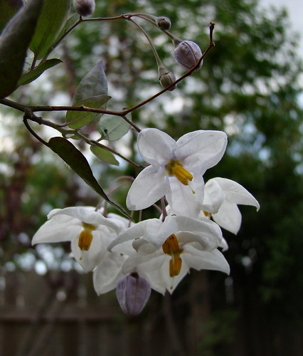 Itailian Jasmine
